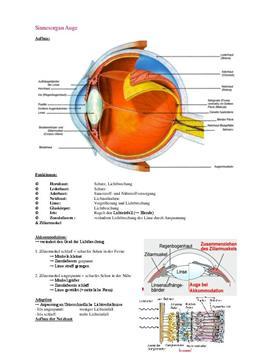 Sinnesorgan Auge - Zusammenfassung in Biologie
